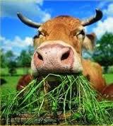 cow-salad